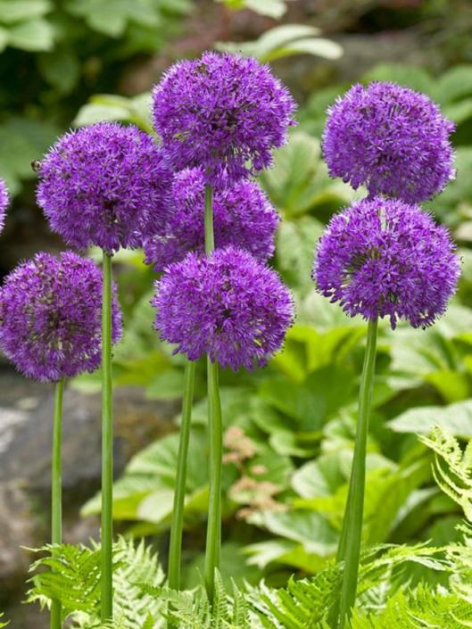Kugellauch – Allium aflatunense