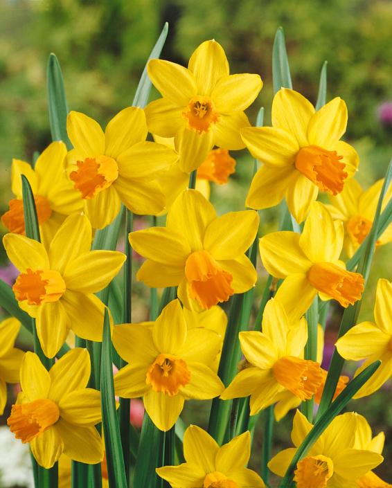 Narzisse Narcissus cyclamineus 'Jetfire'